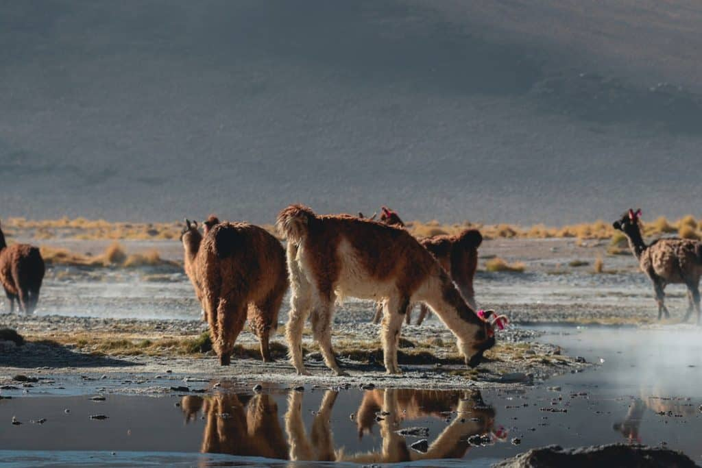 Llama Drinking Water