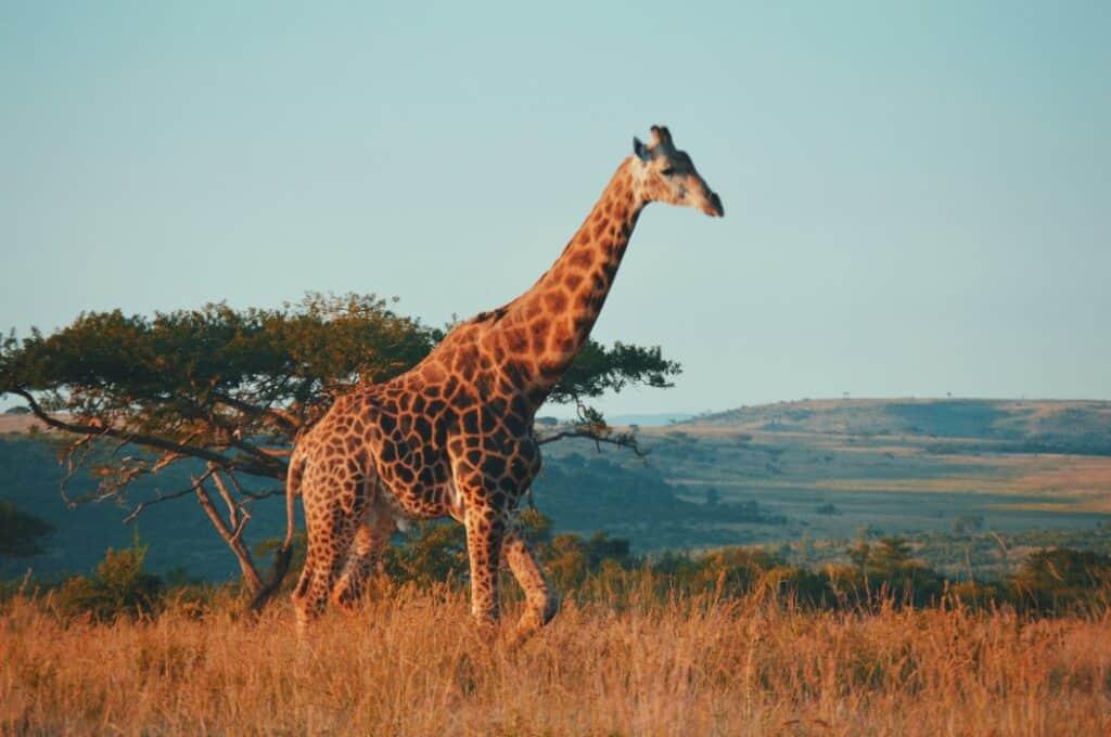 Giraffe walking in a field in South Africa