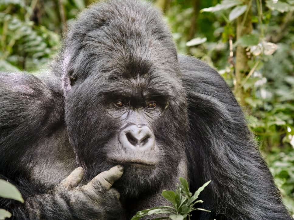 Lowland gorilla with its finger in its mouth