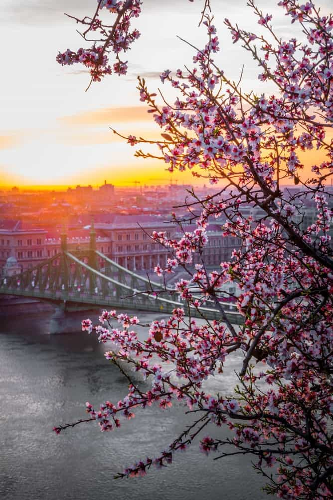 Budapest at sunset with cherry blossoms