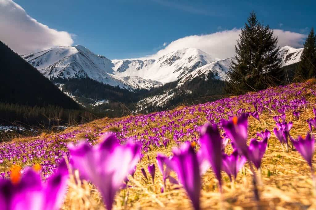 Purple tulips in a yellow field in front of a mountain range