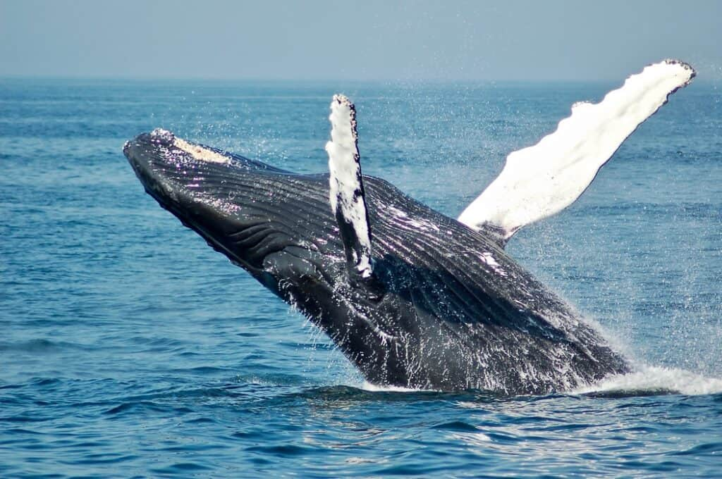 Sperm whale jumping in the water