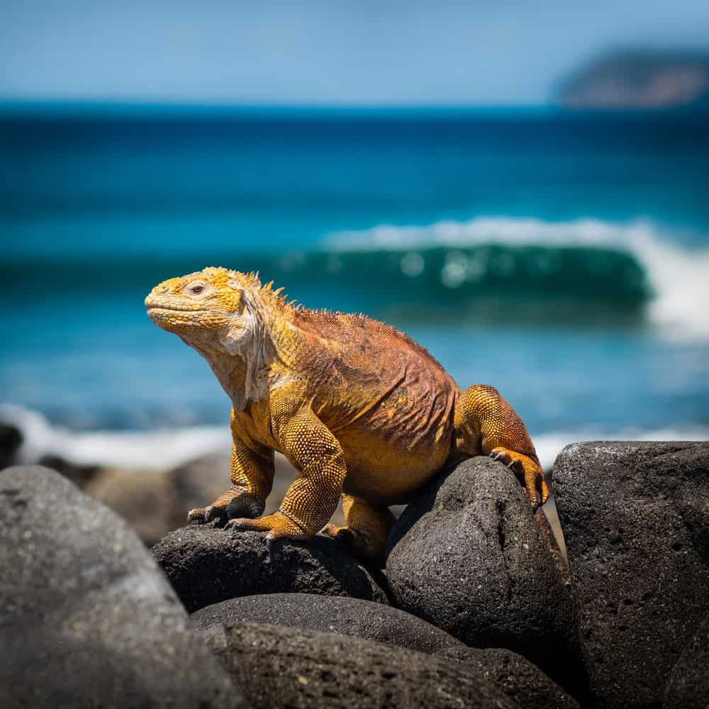 Iguana on the rocks of the Galapagos