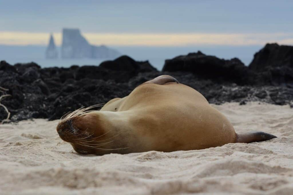 Sleeping seal on the sand
