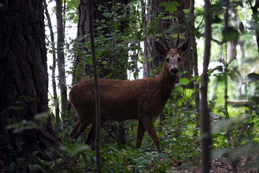 deer in the forest of finland