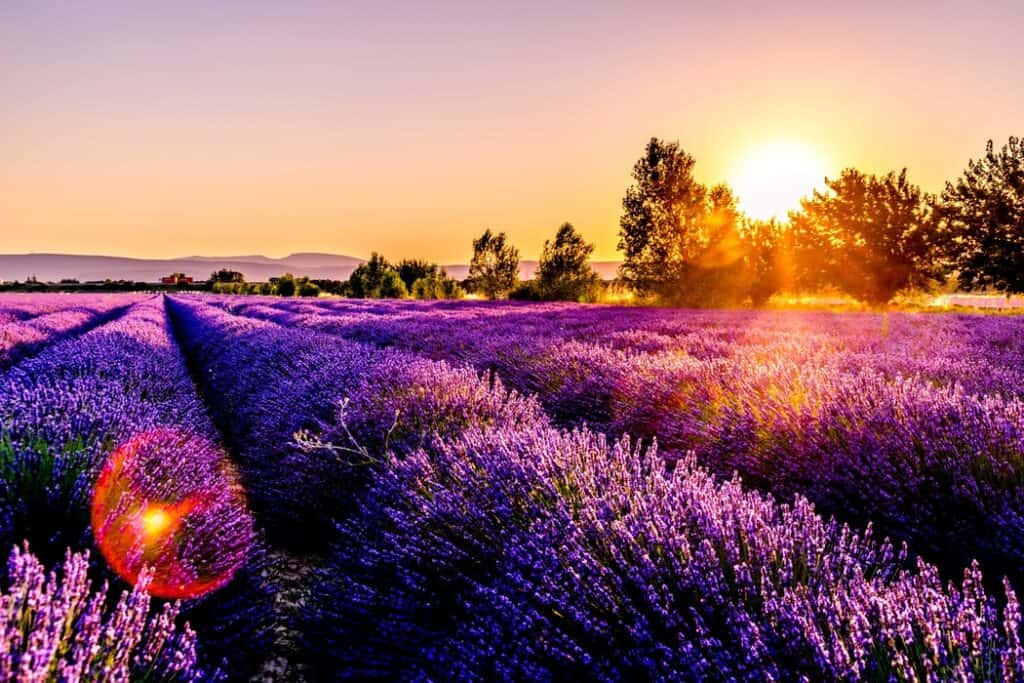 field of lavendar in France