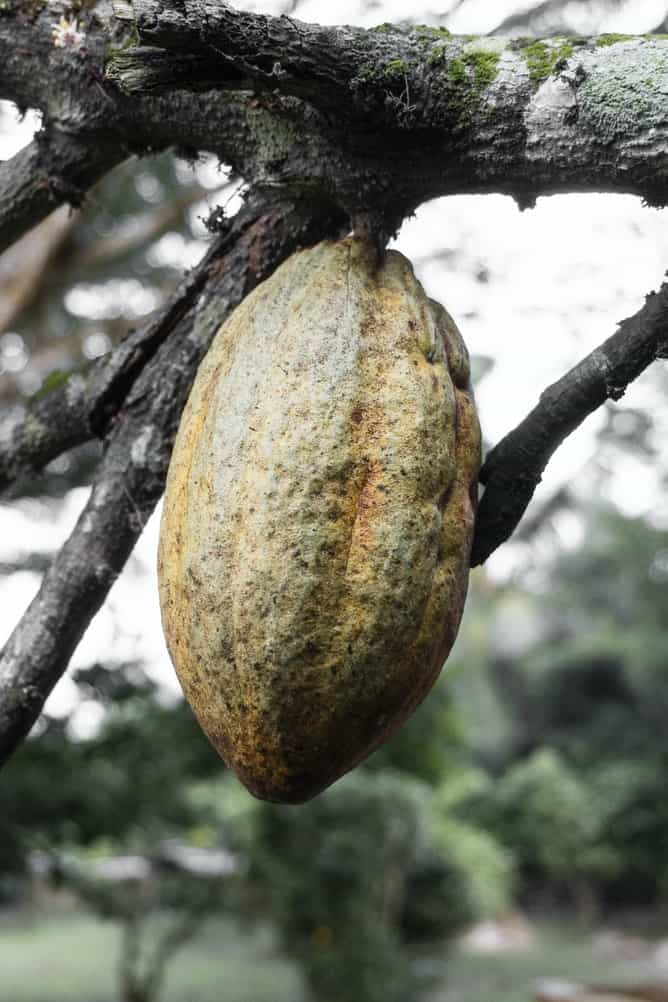 Cocoa bean in a tree