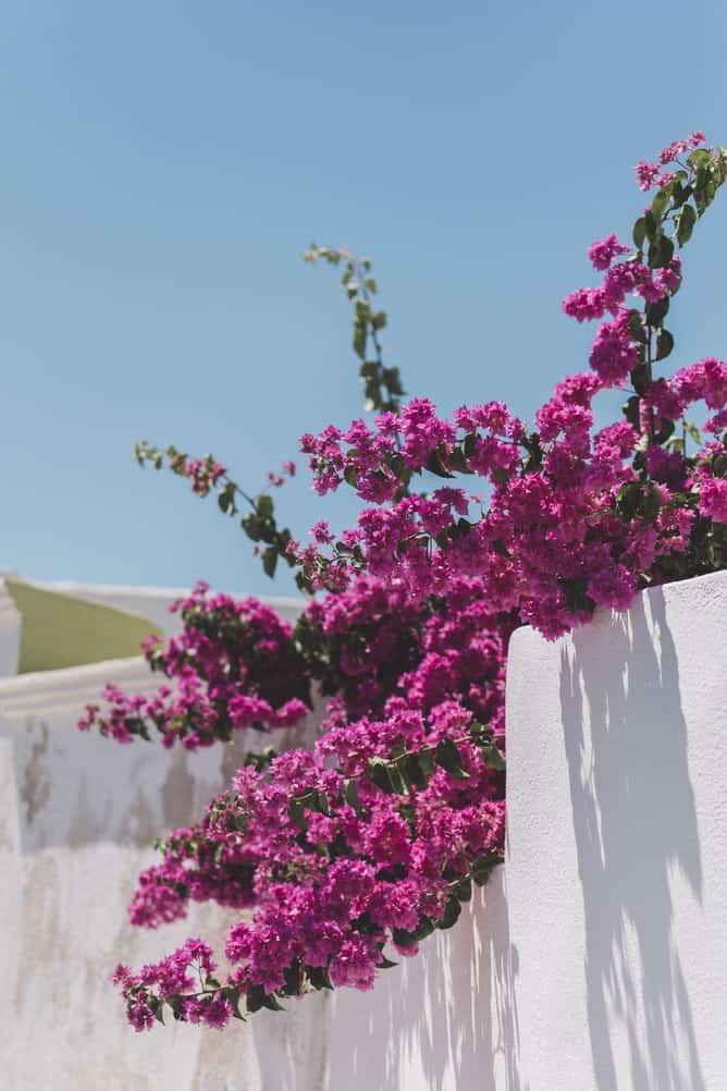 pink flowers in santorini
